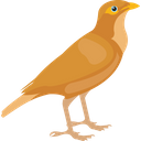 Common Myna Icon