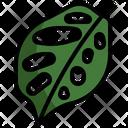 Monstera Adansonii Icon