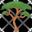 Umbrella Pine Tree